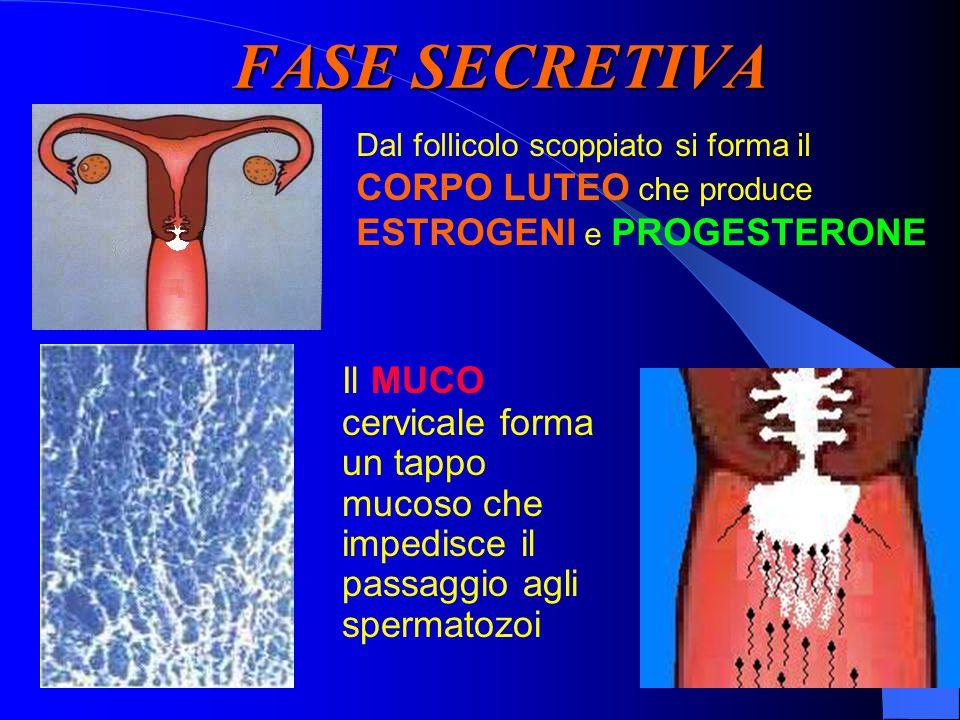 FASE SECRETIVA Dal follicolo scoppiato si forma il CORPO LUTEO che produce ESTROGENI e PROGESTERONE Il MUCO cervicale forma un tappo mucoso che impedisce il passaggio agli spermatozoi