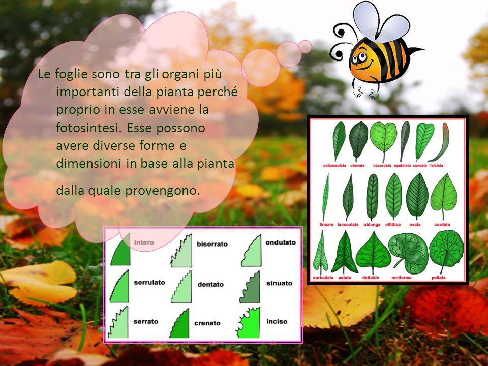 Le foglie sono tra gli organi più importanti della pianta perché proprio in esse avviene la fotosintesi. Esse possono avere diverse forme e dimensioni