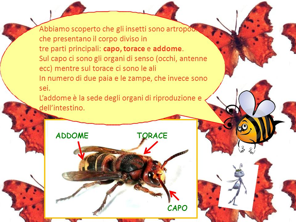 Abbiamo scoperto che gli insetti sono artropodi che presentano il corpo diviso in tre parti principali: capo, torace e addome. Sul capo ci sono gli or