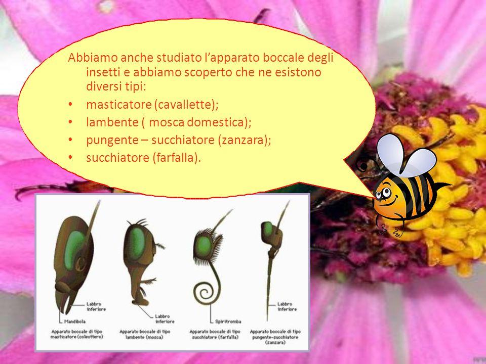 Abbiamo anche studiato l'apparato boccale degli insetti e abbiamo scoperto che ne esistono diversi tipi: masticatore (cavallette); lambente ( mosca do