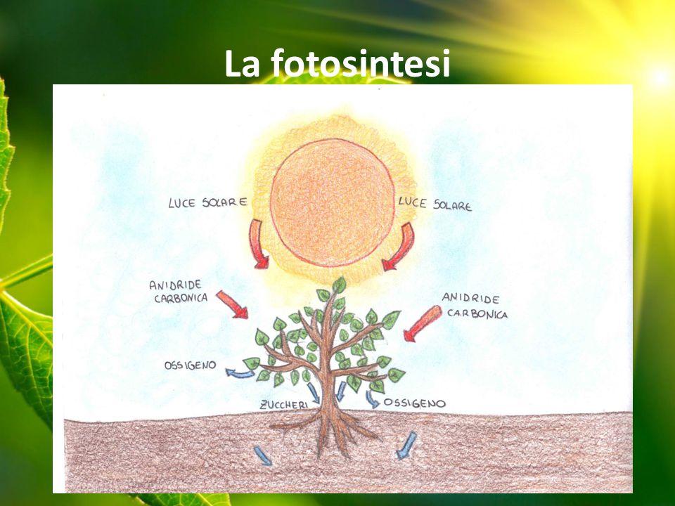 Le piante attraverso la fotosintesi clorofilliana catturano un po' dell'energia solare e producono l'ossigeno e le sostanze nutritive per tutti gli organismi