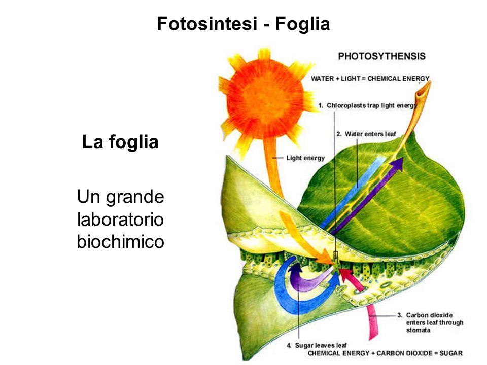 Fotosintesi - Foglia La foglia Un grande laboratorio biochimico