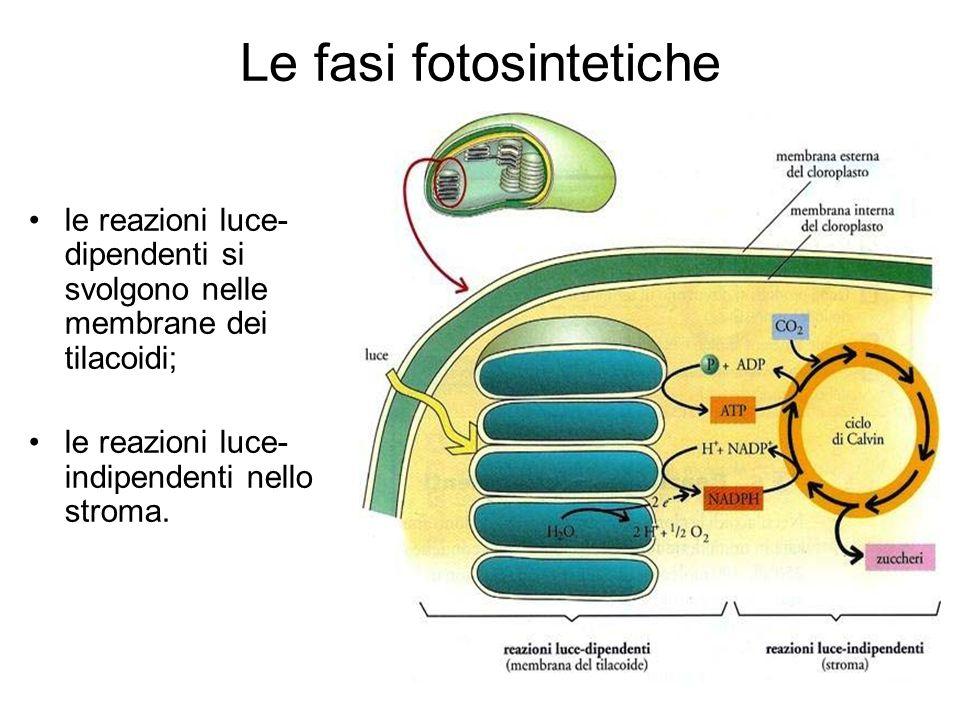 Le fasi fotosintetiche le reazioni luce- dipendenti si svolgono nelle membrane dei tilacoidi; le reazioni luce- indipendenti nello stroma.