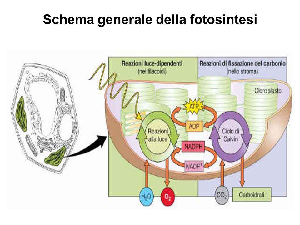 Schema generale della fotosintesi
