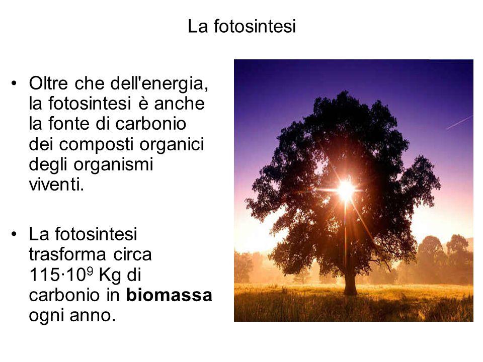 La fotosintesi Oltre che dell'energia, la fotosintesi è anche la fonte di carbonio dei composti organici degli organismi viventi. La fotosintesi trasf