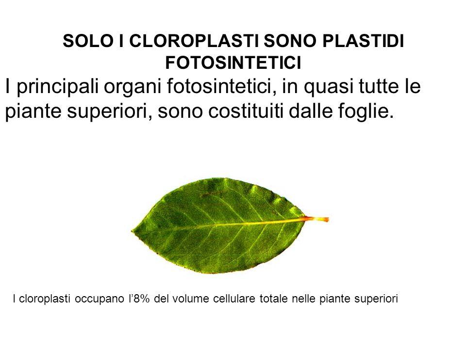 SOLO I CLOROPLASTI SONO PLASTIDI FOTOSINTETICI I principali organi fotosintetici, in quasi tutte le piante superiori, sono costituiti dalle foglie. I