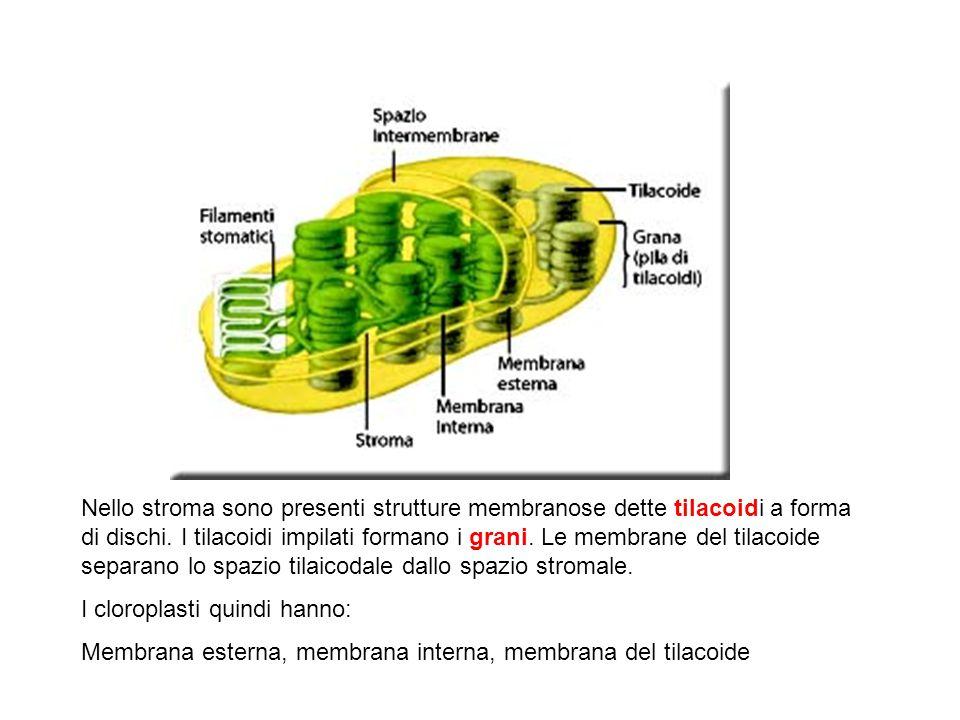 Nello stroma sono presenti strutture membranose dette tilacoidi a forma di dischi.