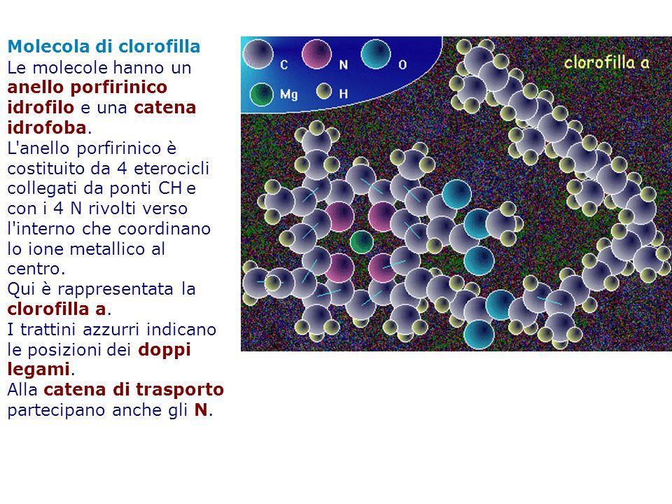 Molecola di clorofilla Le molecole hanno un anello porfirinico idrofilo e una catena idrofoba. L'anello porfirinico è costituito da 4 eterocicli colle