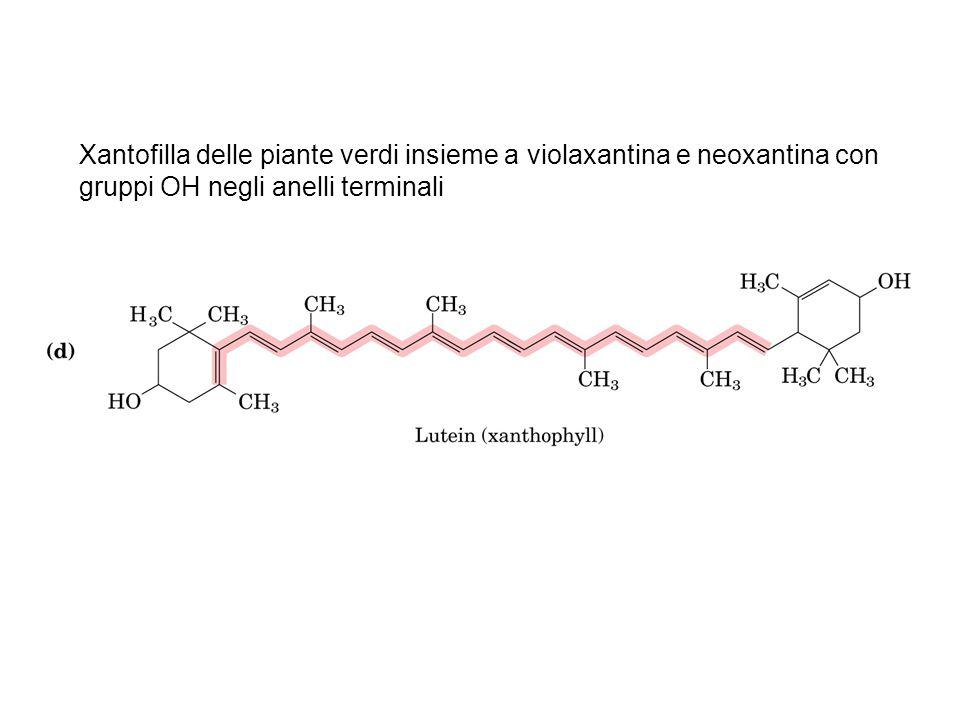 Xantofilla delle piante verdi insieme a violaxantina e neoxantina con gruppi OH negli anelli terminali