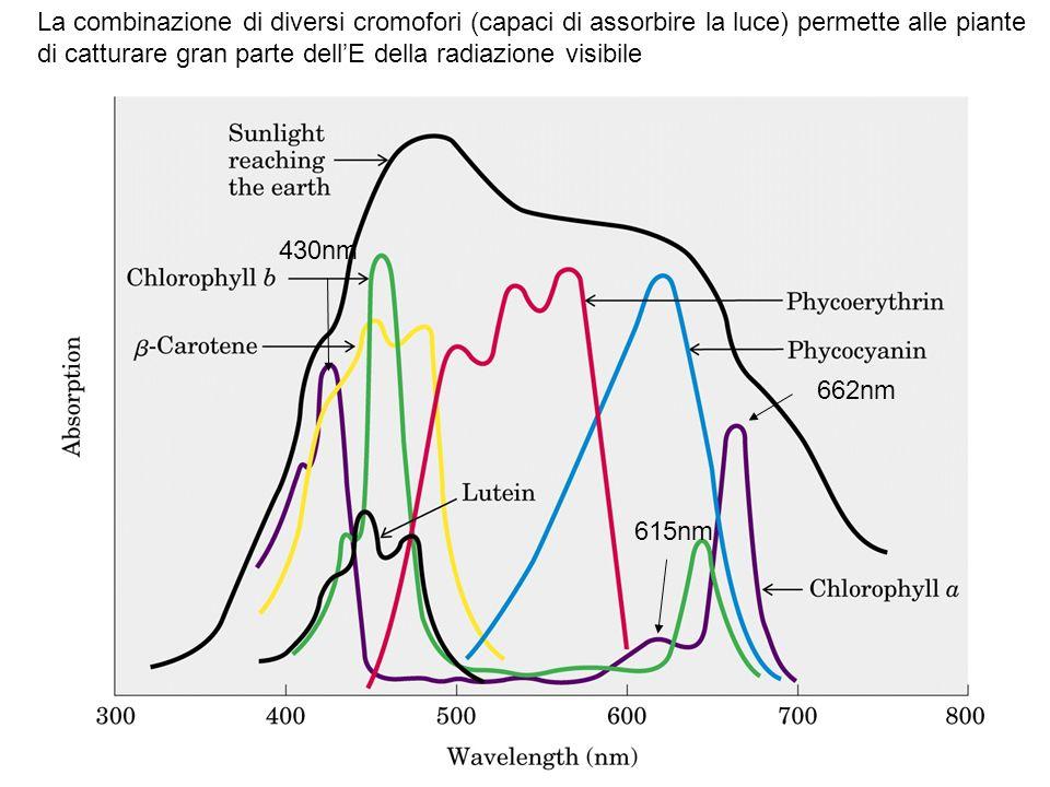 430nm 662nm 615nm La combinazione di diversi cromofori (capaci di assorbire la luce) permette alle piante di catturare gran parte dell'E della radiazione visibile