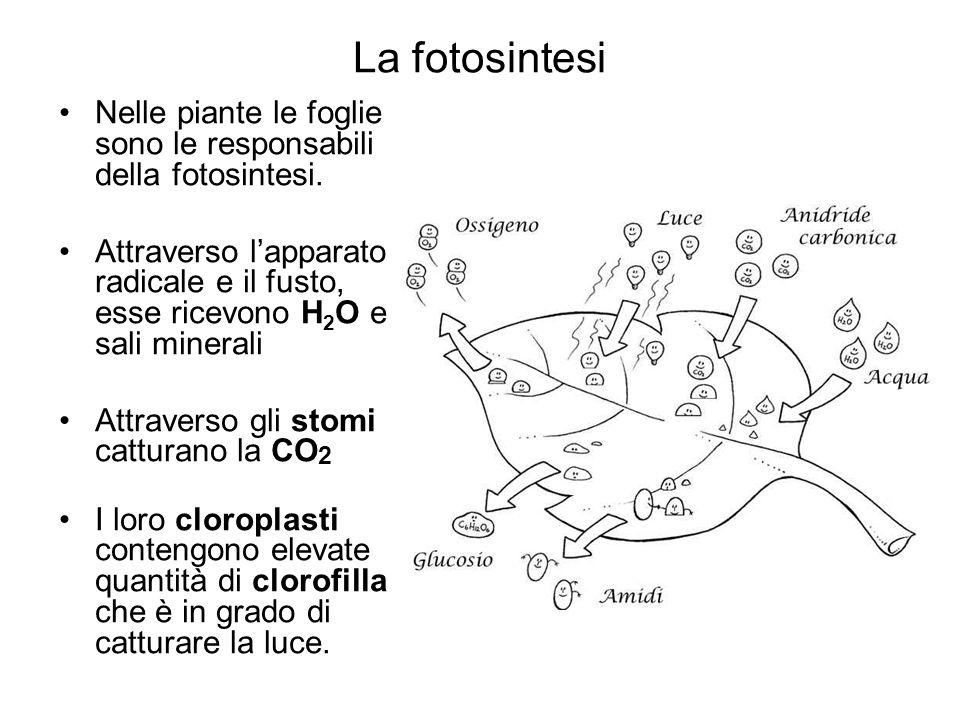 La fotosintesi Nelle piante le foglie sono le responsabili della fotosintesi. Attraverso l'apparato radicale e il fusto, esse ricevono H 2 O e sali mi