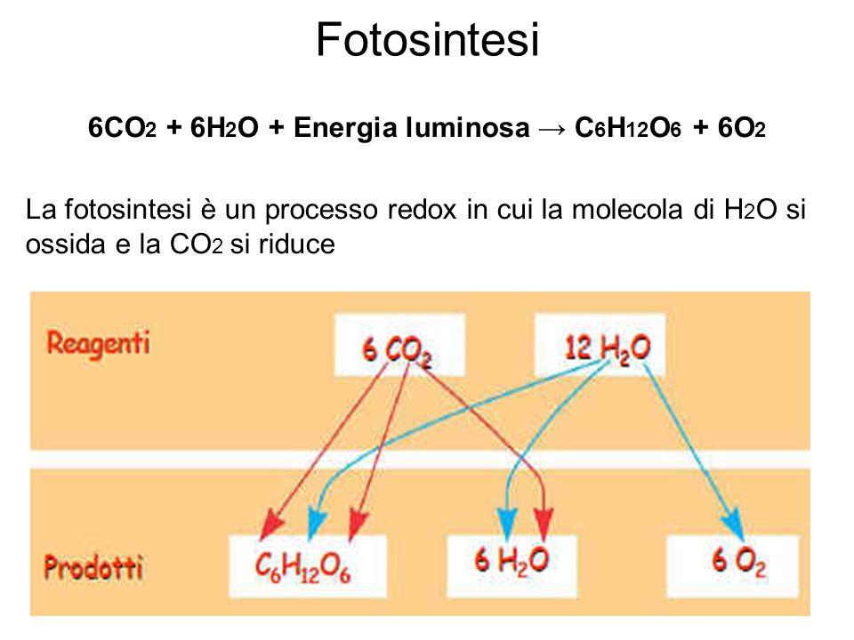 Fotosintesi 6CO 2 + 6H 2 O + Energia luminosa → C 6 H 12 O 6 + 6O 2 La fotosintesi è un processo redox in cui la molecola di H 2 O si ossida e la CO 2