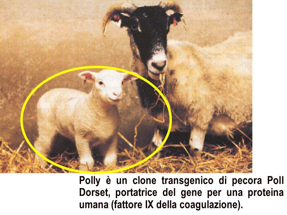 Polly è un clone transgenico di pecora Poll Dorset, portatrice del gene per una proteina umana (fattore IX della coagulazione).