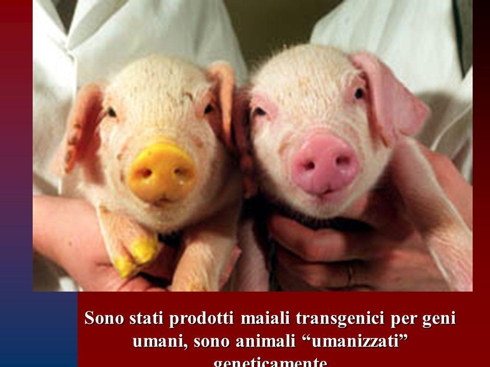 """Sono stati prodotti maiali transgenici per geni umani, sono animali """"umanizzati"""" geneticamente"""