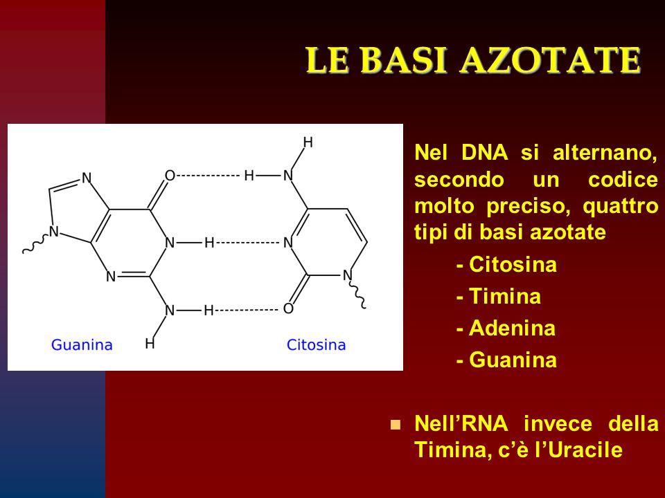 LE BASI AZOTATE Nel DNA si alternano, secondo un codice molto preciso, quattro tipi di basi azotate - Citosina - Timina - Adenina - Guanina n Nell'RNA