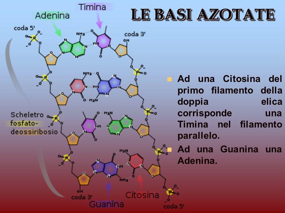 LE BASI AZOTATE n Ad una Citosina del primo filamento della doppia elica corrisponde una Timina nel filamento parallelo. n Ad una Guanina una Adenina.