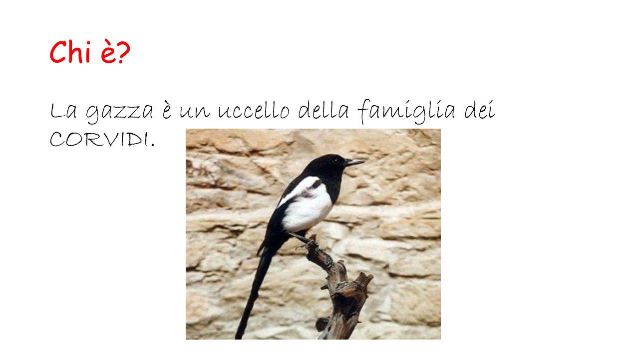 Chi è? La gazza è un uccello della famiglia dei CORVIDI.