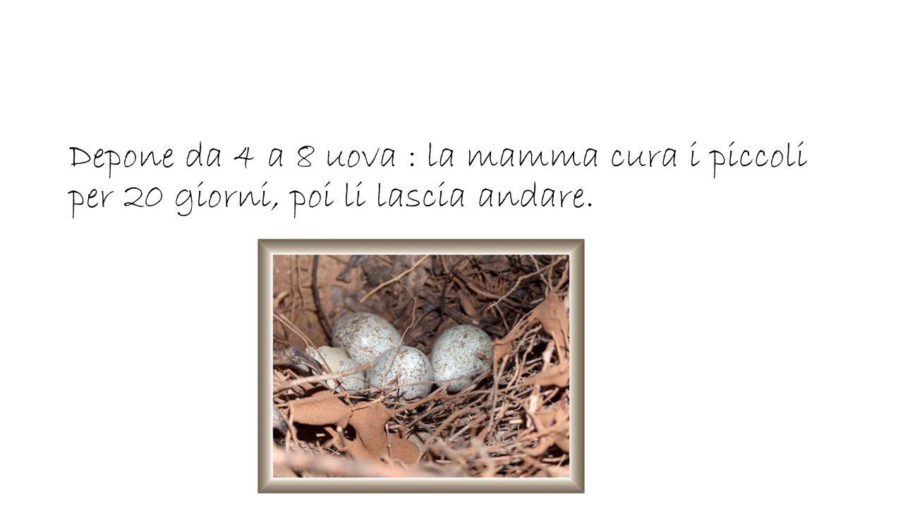 Depone da 4 a 8 uova : la mamma cura i piccoli per 20 giorni, poi li lascia andare.