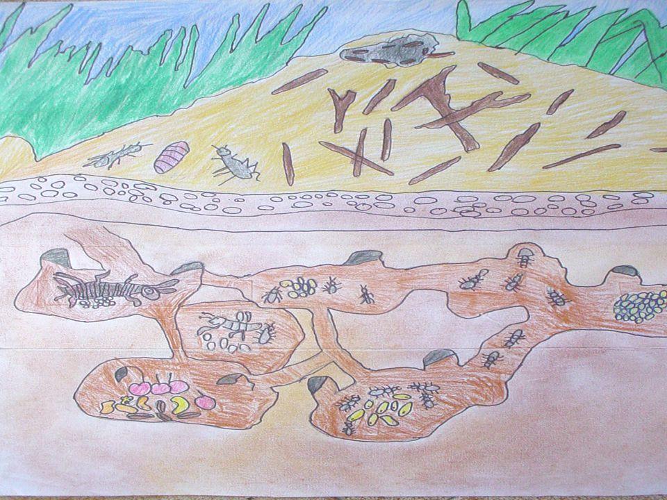 Il formicaio Il formicaio è una città vera e propria, ove ciascuno ha un suo ruolo preciso. Le operaie trasportano le uova deposte dalla regina in cel
