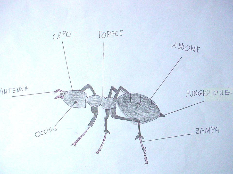 COM'E' La formica ha un corpo lungo 4-10 millimetri, è di colore nero brillante. Ha le mascelle corte, triangolari e dai margini dentellati tagliano l
