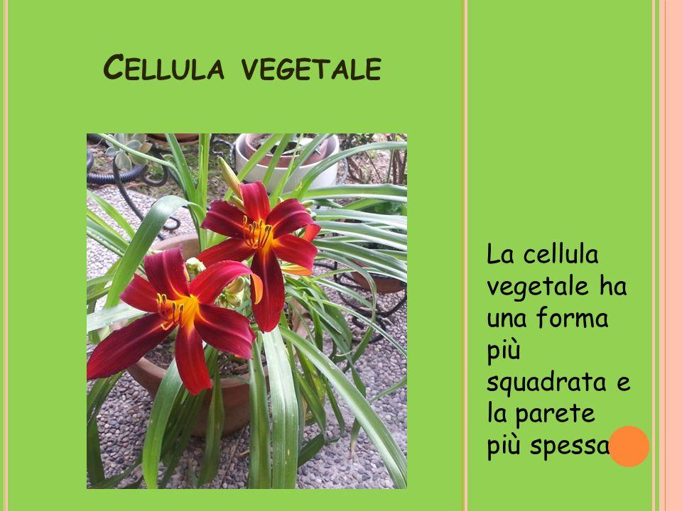 C ELLULA VEGETALE La cellula vegetale ha una forma più squadrata e la parete più spessa