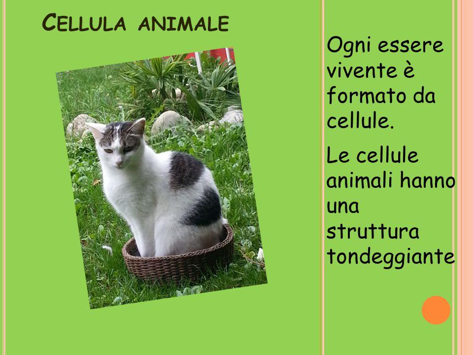 C ELLULA ANIMALE Ogni essere vivente è formato da cellule. Le cellule animali hanno una struttura tondeggiante