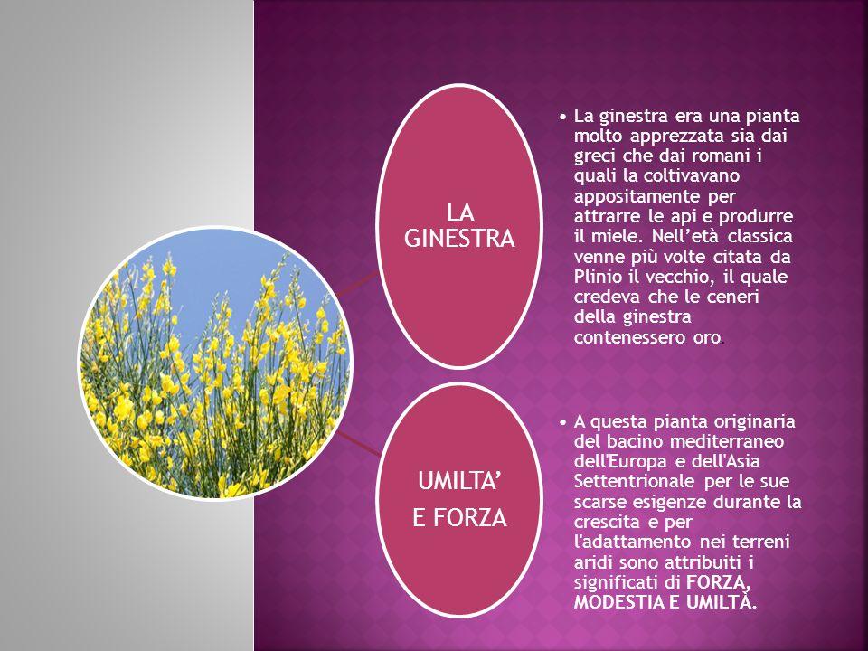 LA GINESTRA La ginestra era una pianta molto apprezzata sia dai greci che dai romani i quali la coltivavano appositamente per attrarre le api e produrre il miele.
