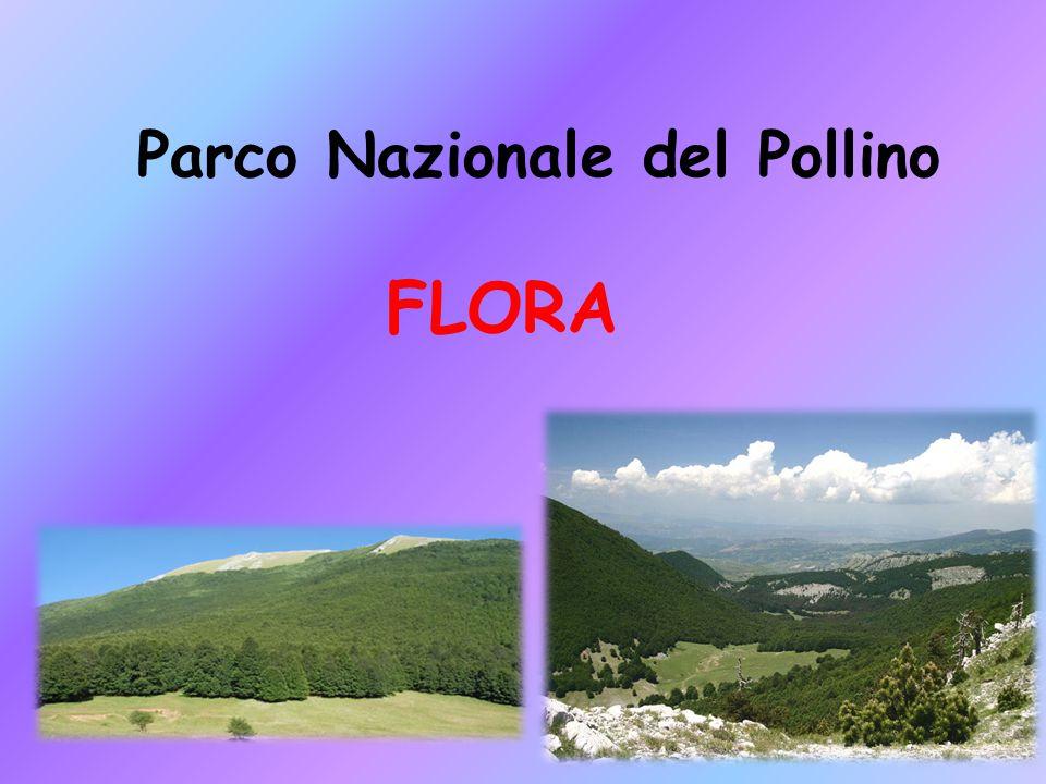I fiori il parco nazionale del pollino è un posto ricco di flora, ma principalmente composto dai fiori.