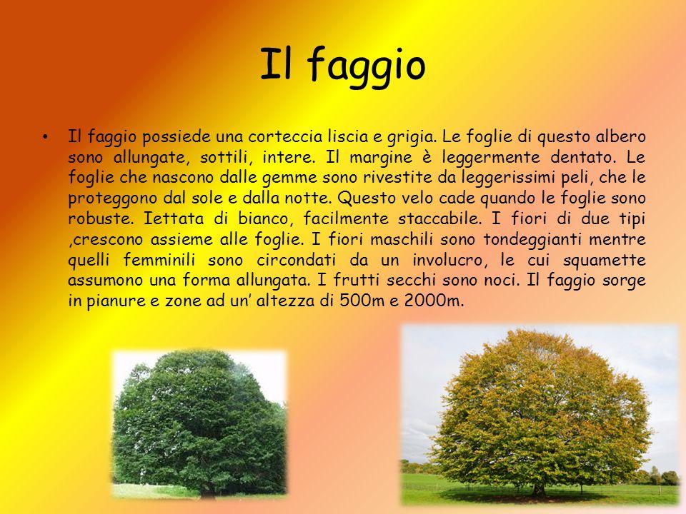 Il faggio Il faggio possiede una corteccia liscia e grigia. Le foglie di questo albero sono allungate, sottili, intere. Il margine è leggermente denta