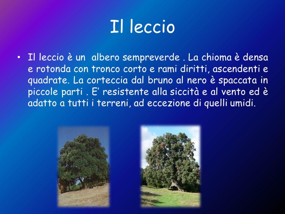 Il leccio Il leccio è un albero sempreverde. La chioma è densa e rotonda con tronco corto e rami diritti, ascendenti e quadrate. La corteccia dal brun