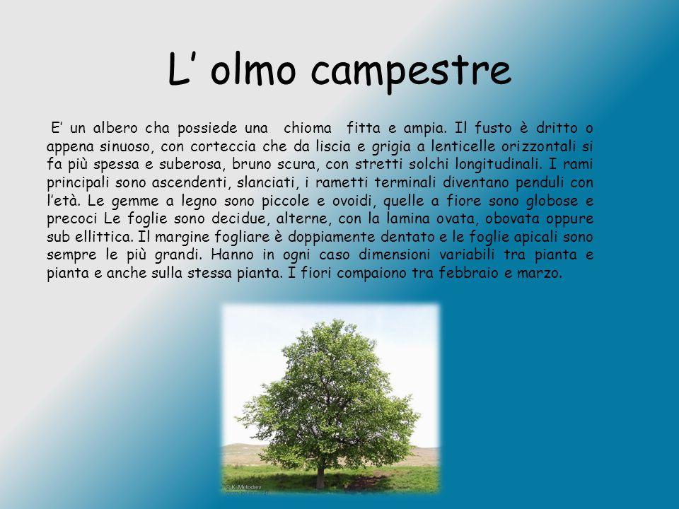 L' olmo campestre E' un albero cha possiede una chioma fitta e ampia. Il fusto è dritto o appena sinuoso, con corteccia che da liscia e grigia a lenti