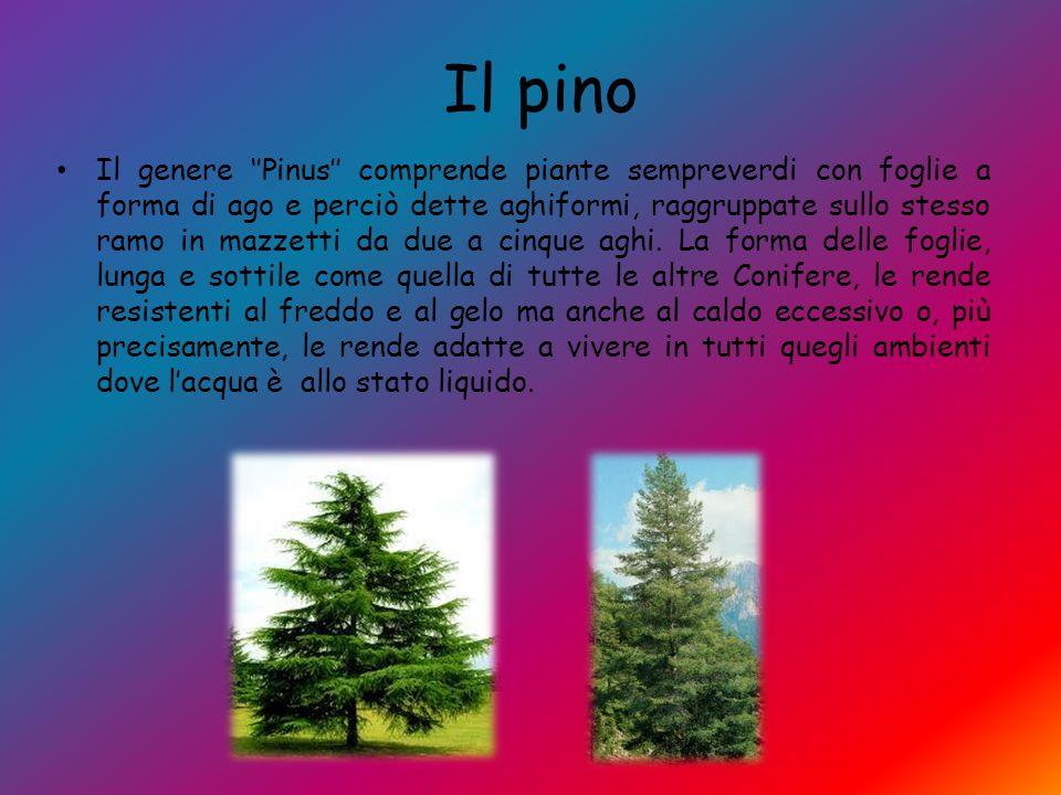 Il pino Il genere ''Pinus'' comprende piante sempreverdi con foglie a forma di ago e perciò dette aghiformi, raggruppate sullo stesso ramo in mazzetti