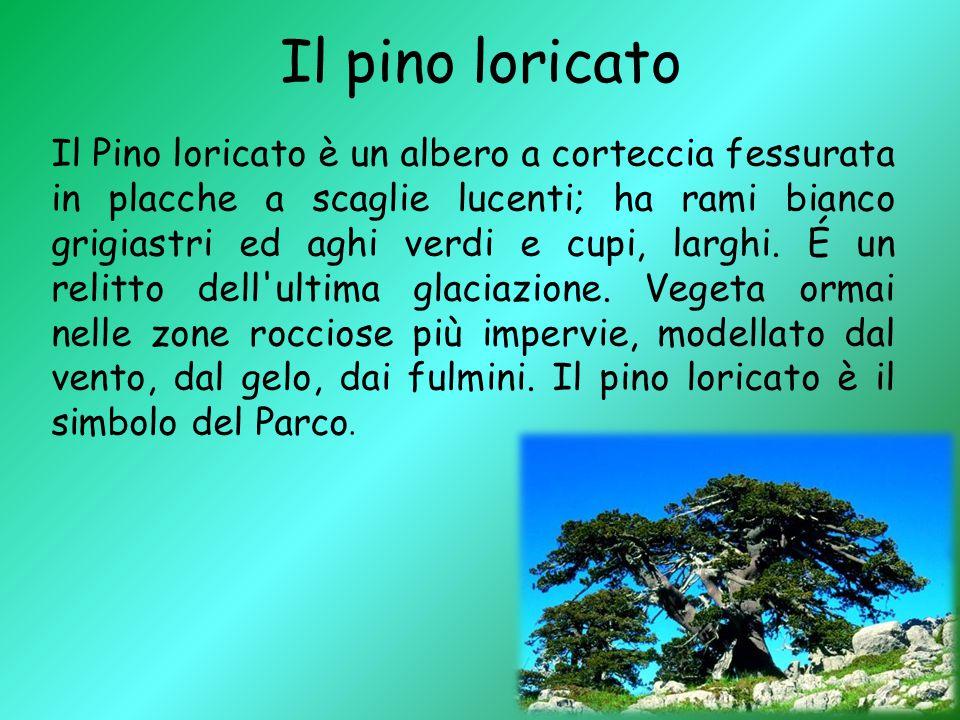Il pino loricato Il Pino loricato è un albero a corteccia fessurata in placche a scaglie lucenti; ha rami bianco grigiastri ed aghi verdi e cupi, larg