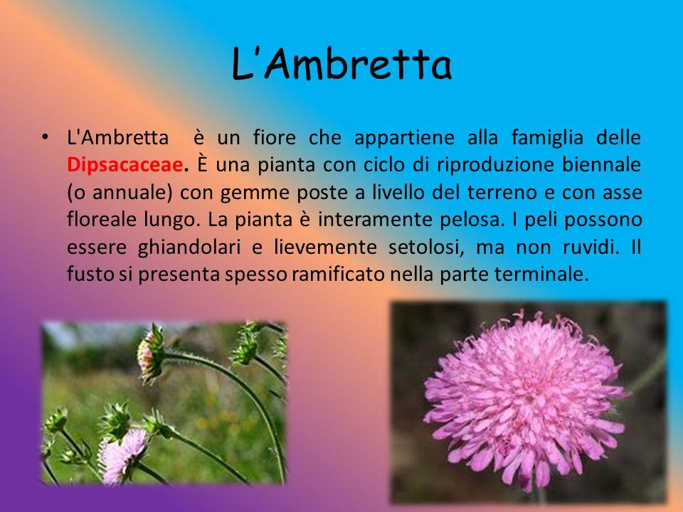 L'Ambretta L'Ambretta è un fiore che appartiene alla famiglia delle Dipsacaceae. È una pianta con ciclo di riproduzione biennale (o annuale) con gemme
