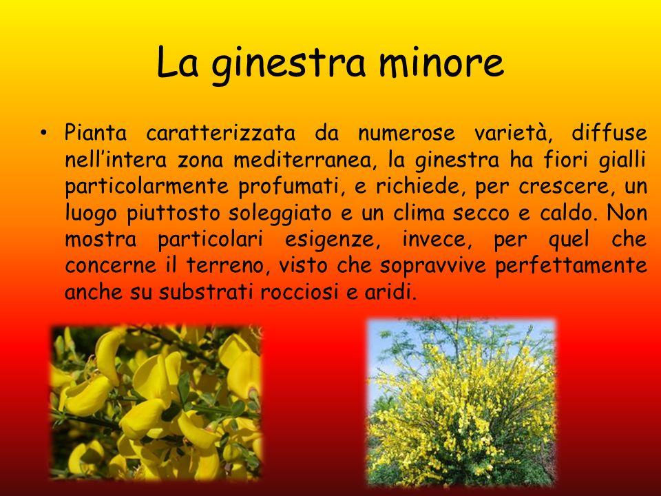 La ginestra minore Pianta caratterizzata da numerose varietà, diffuse nell'intera zona mediterranea, la ginestra ha fiori gialli particolarmente profu