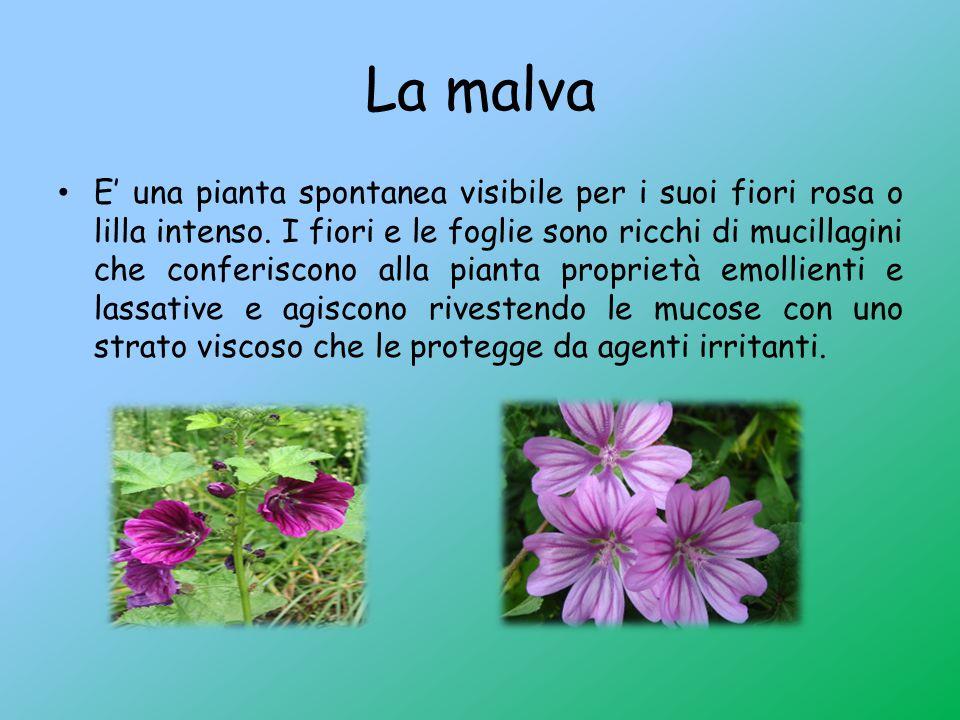La malva E' una pianta spontanea visibile per i suoi fiori rosa o lilla intenso. I fiori e le foglie sono ricchi di mucillagini che conferiscono alla