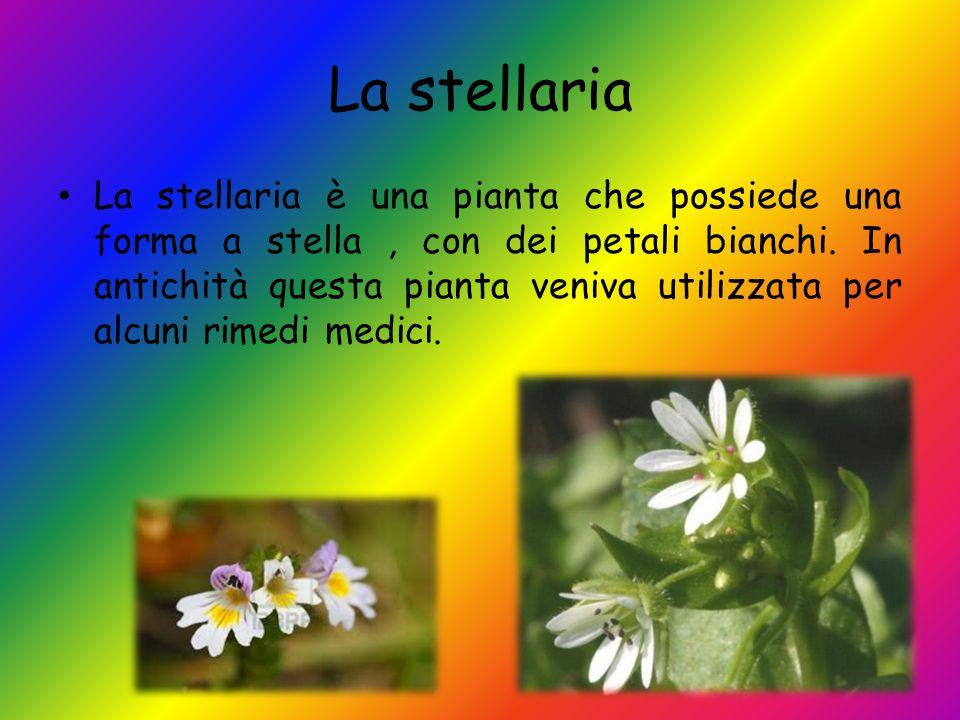 La stellaria La stellaria è una pianta che possiede una forma a stella, con dei petali bianchi. In antichità questa pianta veniva utilizzata per alcun