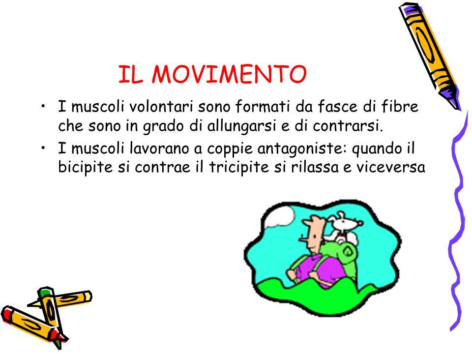 IL MOVIMENTO I muscoli volontari sono formati da fasce di fibre che sono in grado di allungarsi e di contrarsi.