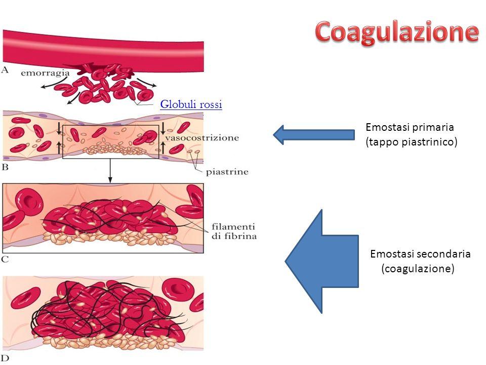 Emostasi primaria (tappo piastrinico) Emostasi secondaria (coagulazione) Globuli rossi
