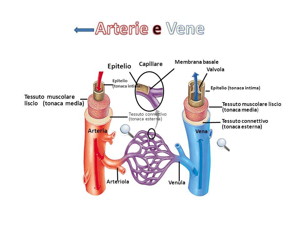 Capillare Epitelio Membrana basale Valvola Epitelio (tonaca intima) Tessuto muscolare liscio (tonaca media) Tessuto connettivo (tonaca esterna) Vena V