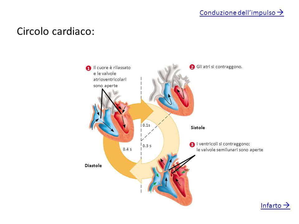 Circolo cardiaco: Il cuore è rilassato e le valvole atrioventricolari sono aperte 1 2 Gli atri si contraggono. Sistole Diastole 0.4 s 0.1s 0.3 s 3 I v