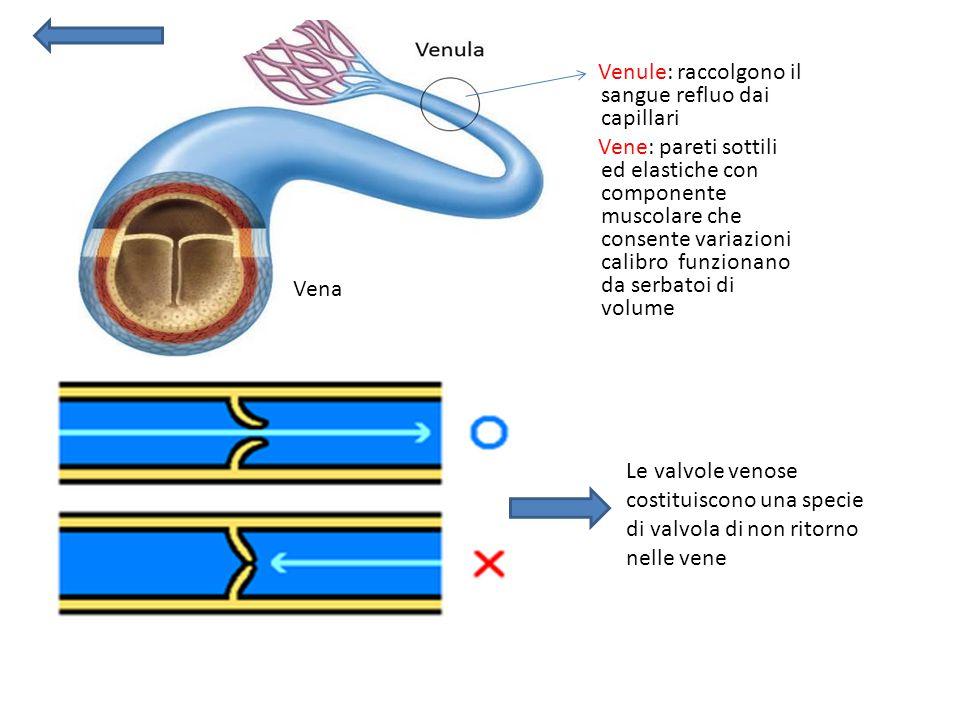Venule: raccolgono il sangue refluo dai capillari Vene: pareti sottili ed elastiche con componente muscolare che consente variazioni calibro funzionan