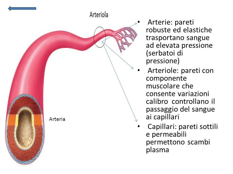 Arterie: pareti robuste ed elastiche trasportano sangue ad elevata pressione (serbatoi di pressione) Arteriole: pareti con componente muscolare che co