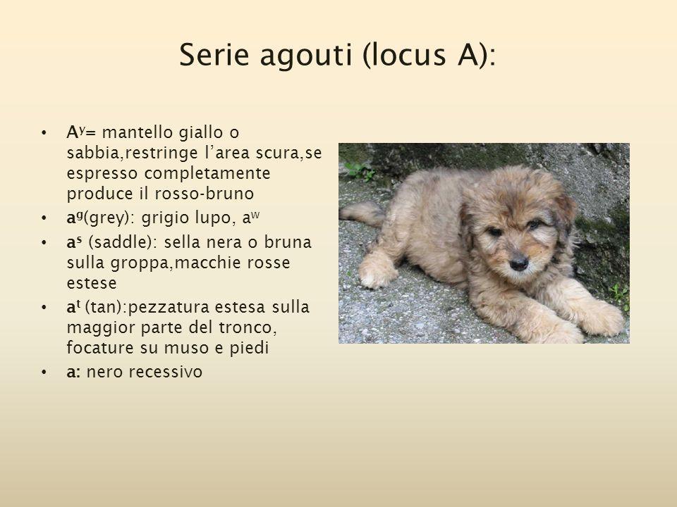 Serie agouti (locus A): A y = mantello giallo o sabbia,restringe l'area scura,se espresso completamente produce il rosso-bruno a g (grey): grigio lupo