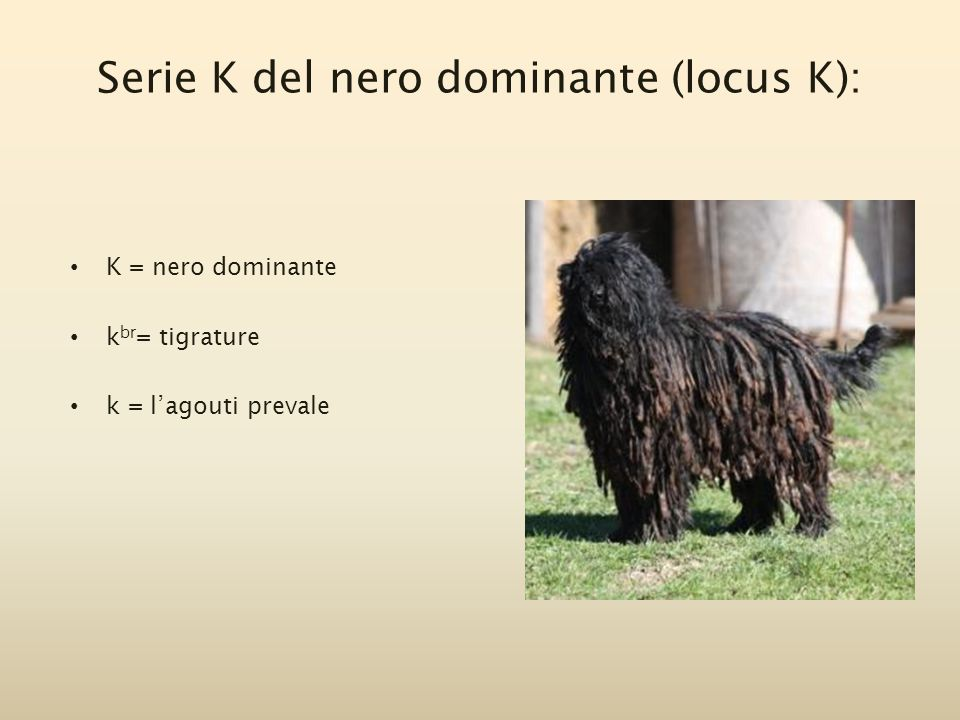 Serie K del nero dominante (locus K): K = nero dominante k br = tigrature k = l'agouti prevale