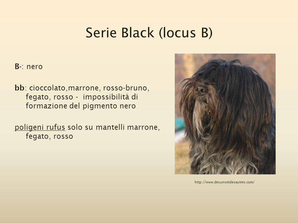 Serie Black (locus B) B-: nero bb: cioccolato,marrone, rosso-bruno, fegato, rosso - impossibilità di formazione del pigmento nero poligeni rufus solo