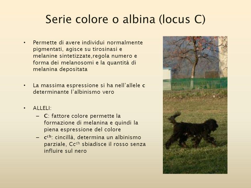 Serie colore o albina (locus C) Permette di avere individui normalmente pigmentati, agisce su tirosinasi e melanine sintetizzate,regola numero e forma