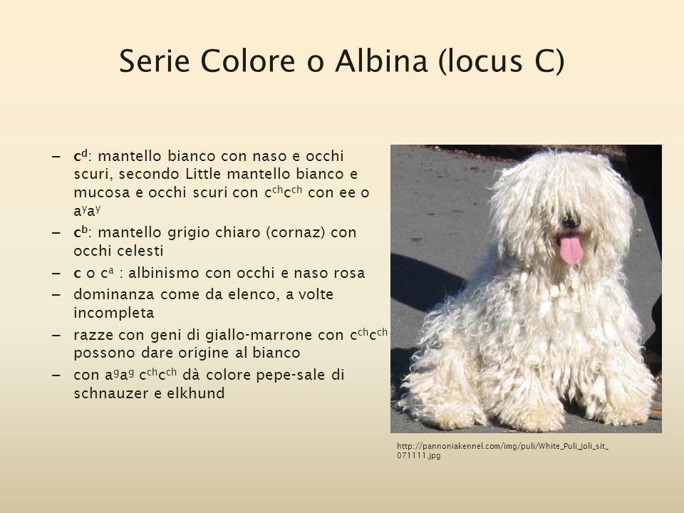Serie Colore o Albina (locus C) – c d : mantello bianco con naso e occhi scuri, secondo Little mantello bianco e mucosa e occhi scuri con c ch c ch co