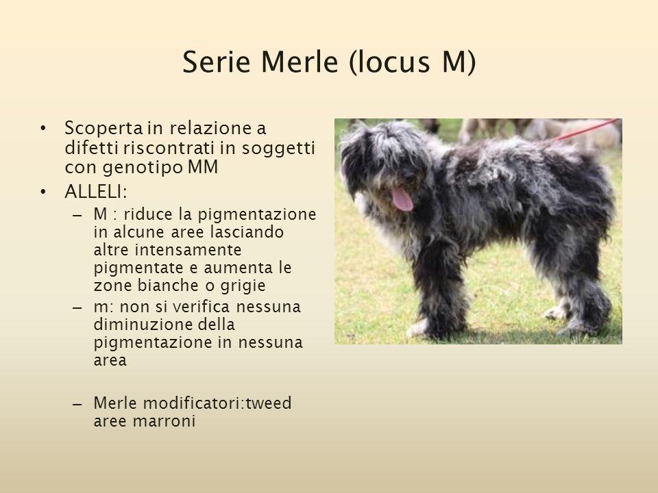 Serie Merle (locus M) Scoperta in relazione a difetti riscontrati in soggetti con genotipo MM ALLELI: – M : riduce la pigmentazione in alcune aree las
