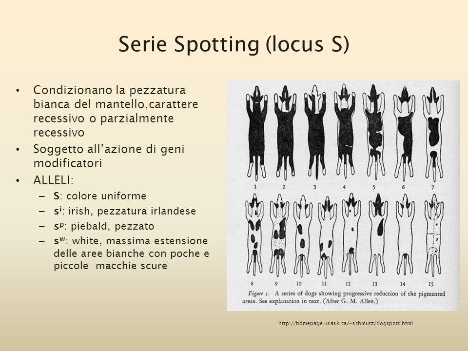 Serie Spotting (locus S) Condizionano la pezzatura bianca del mantello,carattere recessivo o parzialmente recessivo Soggetto all'azione di geni modifi